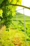 Trentino vineyards, Italy Royalty Free Stock Photo