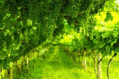 Trentino vineyards, Italy Royalty Free Stock Photography