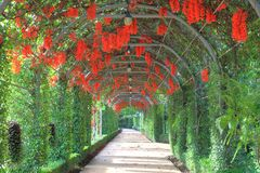 Trepadeira bonita de Nova Guiné ou escarlate de videira de jade que floresce no túnel do jardim fotografia de stock royalty free