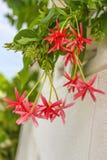 A trepadeira de Rangoon ou o mel chinês mamam, as flores e as árvores Foto de Stock