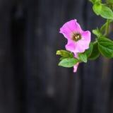 Trepadeira do jardim Trepadeiras cor-de-rosa Fotografia de Stock