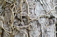 Trepadeira na casca da árvore no parque nacional de Snowdonia fotos de stock royalty free