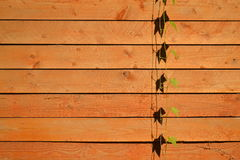 Trepadeira no fundo de madeira fotografia de stock royalty free