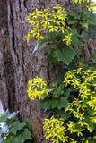 Trepadeira-senécio. Assunto: Trepadeira-senécio Senecio mikanioides Asteraceae originária da África do Sul Local: São Paulo - SP - Brasil Data royalty free stock photos