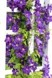 Trepadeiras roxas Imagens de Stock Royalty Free