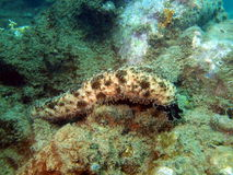 Trepang sea-slug, Vietnam Royalty Free Stock Image