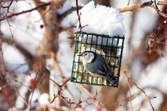 Trepatroncos Blanco-Breasted en el alimentador del sebo en invierno Imagen de archivo