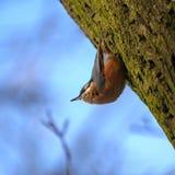 Trepatroncos del pájaro fotos de archivo libres de regalías