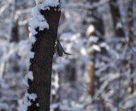 Trepatroncos del pájaro en el árbol en cabeza fresca de la actitud abajo Fotografía de archivo