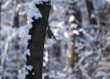 Trepatroncos del pájaro en el árbol en la actitud fresca que mira abajo Imágenes de archivo libres de regalías