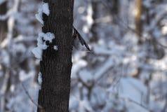 Trepatroncos del pájaro en el árbol nevoso en la actitud fresca que mira abajo Foto de archivo libre de regalías