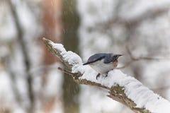 Trepatroncos salvaje del pájaro Fotografía de archivo libre de regalías