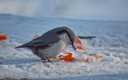 Trepatroncos salvaje del pájaro en bosque del invierno Foto de archivo