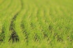Treppe des Weizenfeldes im Frühjahr stockfoto