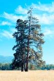 Tres árboles 2 Fotografía de archivo libre de regalías