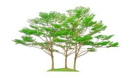 Tres árboles aislados, grupo de árbol negro del afara, sabido tanto nombre son almendra, Idigbo, framire y emeri de Costa de Marf imágenes de archivo libres de regalías
