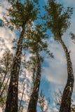 Tres árboles de abedul Fotografía de archivo libre de regalías