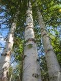 Tres árboles de abedul contra el cielo en verano tardío en un día soleado Imágenes de archivo libres de regalías