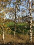 Tres árboles de abedul del otoño en luz del sol Foto de archivo