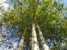 Tres árboles de abedul en el fondo del cielo azul en verano tardío en un día soleado Fotos de archivo libres de regalías