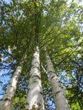Tres árboles de abedul en el fondo del cielo azul en verano tardío en un día soleado Fotografía de archivo