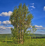 Tres árboles de abedul en el top de la colina Imagen de archivo