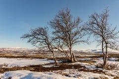 Tres árboles de abedul de montaña con las montañas del invierno en el fondo en Dovre, Noruega Fotografía de archivo