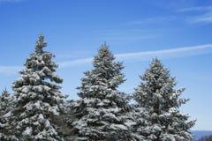 Tres árboles de pino foto de archivo