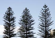 Tres árboles de pino Imágenes de archivo libres de regalías