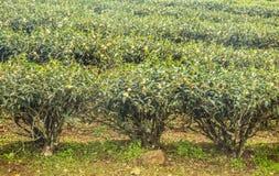 Tres árboles del té Imagenes de archivo