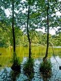 Tres árboles en el agua Foto de archivo libre de regalías