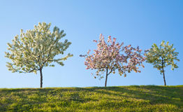 Tres árboles florecientes contra el cielo azul Imagen de archivo