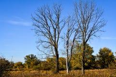 Tres árboles muertos en el paisaje de Wisconsin Foto de archivo