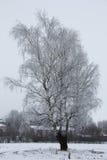 Tres abedules en el invierno Foto de archivo libre de regalías