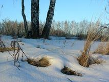Tres abedules en un prado nevado con el bosque por la tarde Fotografía de archivo libre de regalías