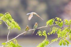 Tres abeja-comedores en árbol Foto de archivo libre de regalías