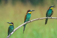 Tres Abeja-comedores en una rama Fotos de archivo