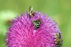 Tres abejas en la flor Fotos de archivo