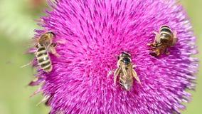 Tres abejas en la flor almacen de metraje de vídeo