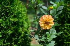 Tres abejas y dalias Fotografía de archivo