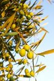 Tres aceitunas en un árbol Imagen de archivo libre de regalías