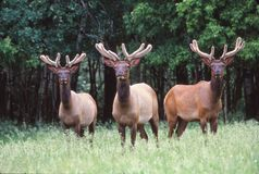 Tres alces jovenes del toro en terciopelo Imagen de archivo