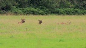 Tres alces que colocan en campo de la hierba larga metrajes