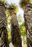 Tres altos y palmeras magníficas, la opinión inferior para arriba sobre los tops Fotografía de archivo