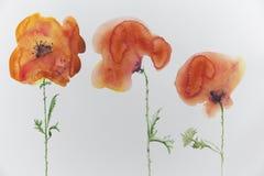 Tres amapolas en un fondo ligero Fotos de archivo