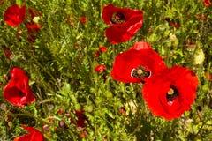 Tres amapolas rojas Fotografía de archivo libre de regalías