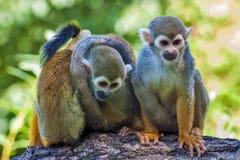 Tres amigos - mono de ardilla - sciureus del Saimiri Imagenes de archivo