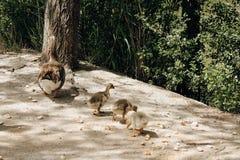 Tres anadones con su madre en el parque foto de archivo