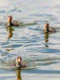 Tres anadones nadan sobre un lago imagenes de archivo
