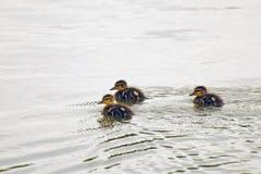 Tres anadones valientes que flotan airosamente en la charca Imagenes de archivo